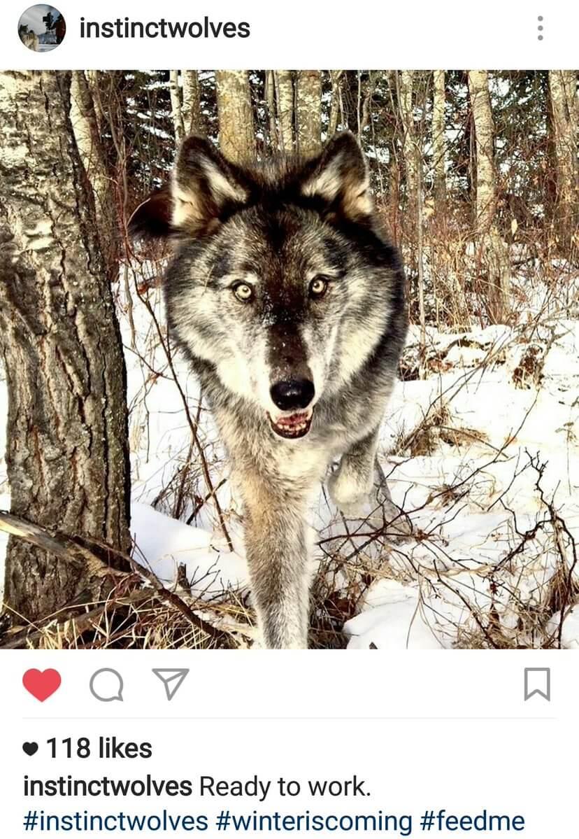 Волки из Игры престолов