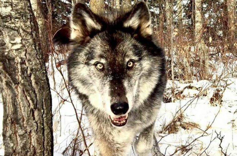 Волк Нимерия из Игры престолов